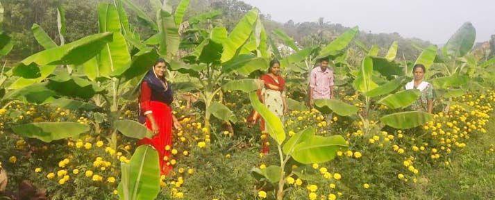 ബന്ദിപ്പൂ മണക്കുന്ന മല്ലികയുടെ വാഴത്തോട്ടം