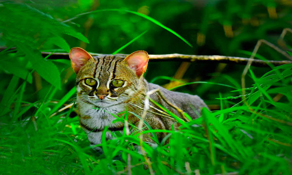 rusty_spotted_cat