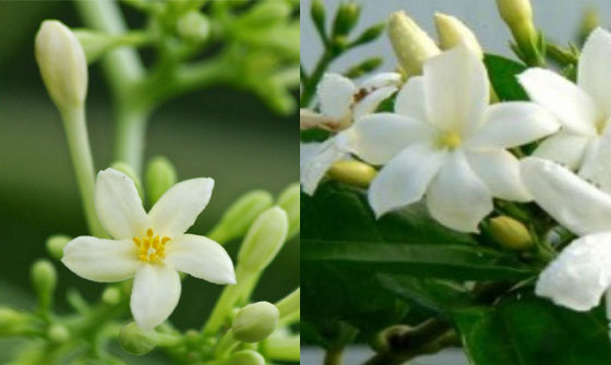 JASMINE-AND-PAPAYA